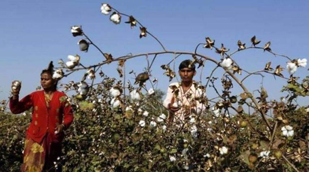bt cotton, bt cotton seeds, bt cotton seed prices, cotton seed price hike, cotton seed price hike maharashtra, indian express